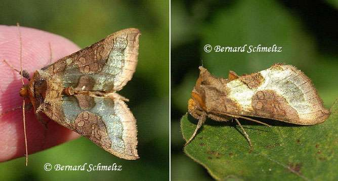 La Plusie confluente, Diachrysia stenochrysis (Warren, 1913) (Noctuidé). © Bernard Schmeltz