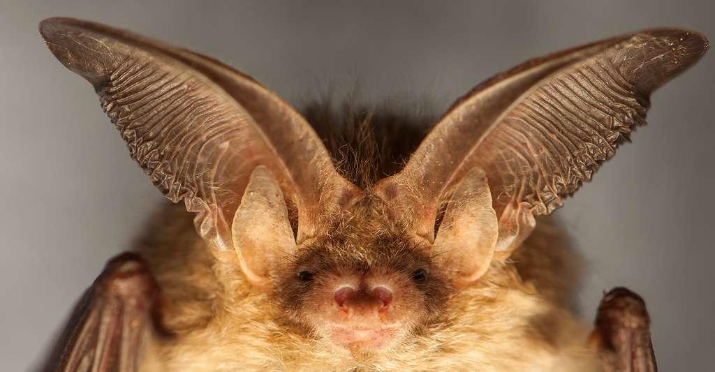 L'oreillard roux Plecotus auritus aux oreilles démesurées. © Gucio 55, Shutterstock