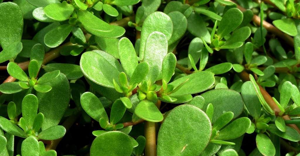Pourpier maraîcher ou Porcelane (Portulaca oleracea) est une espèce de plante aux tiges rampantes, utilisée pour l'alimentation ou en phytothérapie. © AnRo0002, CC0 1.0