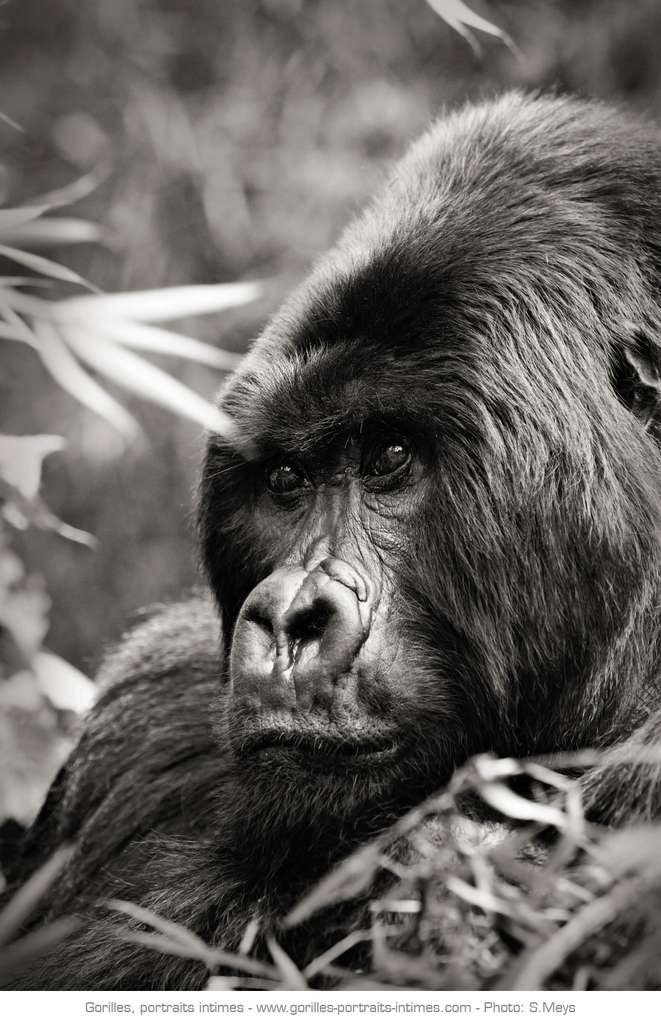 Photo Regard De Gorille