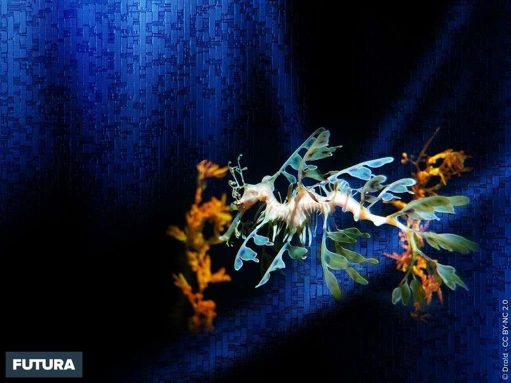 Dragon de mer feuillu - Phycodurus eques