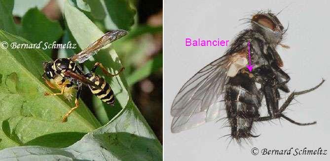 À gauche, un poliste découpant une chenille. À droite, un diptère parasitoïde, Compsilura concinnata. © Bernard Schmeltz