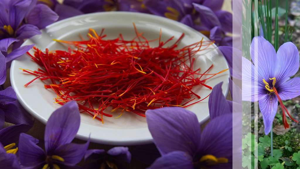Le safran, l'une des épices les plus chères au monde