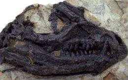 Le crâne de Tianyulong confuciusi. © X-T Zheng et al.
