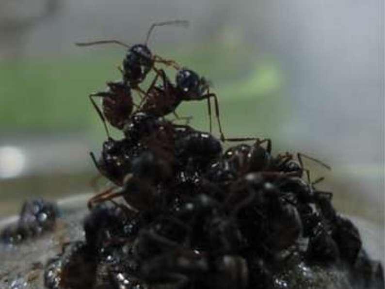 Dans ce radeau de fourmis, les individus sont associés pour favoriser la survie du groupe entier, aussi bien les pupes et les larves que les ouvrières et la reine. © D. Galvez, Purcell et al., Plos One, 2014, cc by sa 4.0