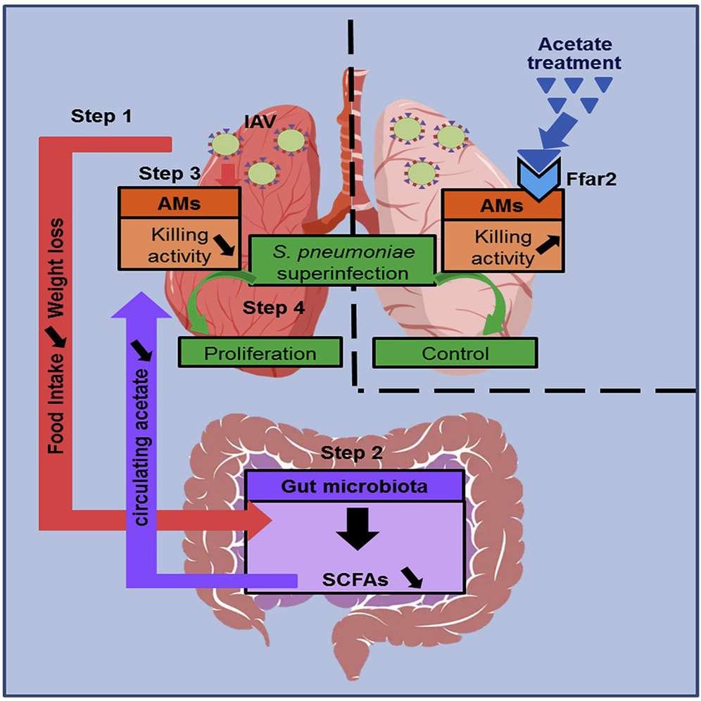 Résumé graphique de l'axe intestin-poumon. © François Trottein, CNRS, CC by-nc-nd/4.0