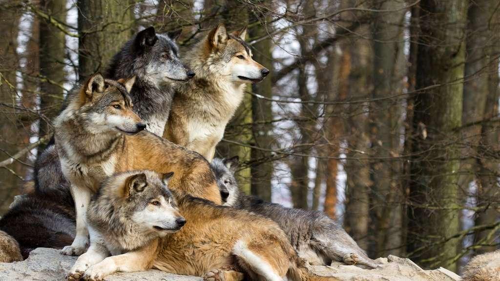 Le loup gris commun, maître d'Europe et d'Asie