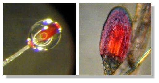 Figure 6. Détail de l'extrémité d'un poil collant (à gauche). La gouttelette de colle n'est plus visible (à droite), par contre on distingue la complexité de l'extrémité du poil. © Biologie et Mulitmedia