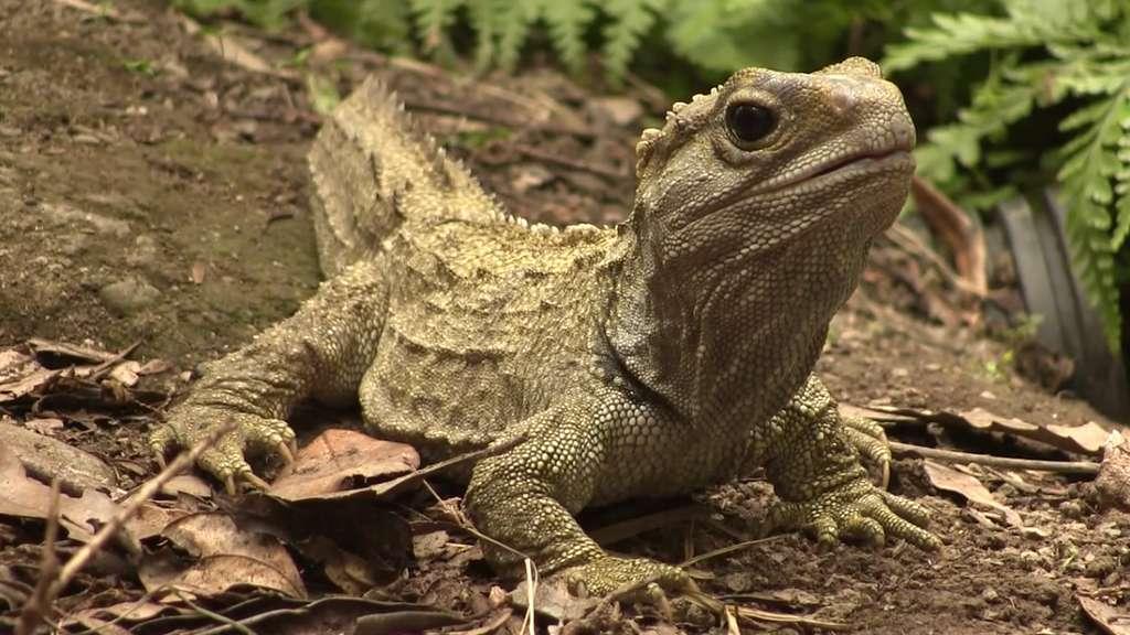Le sphénodon ou Tuatara est un reptile aux caractéristiques primitives. © YouOriginal, capture YouTube