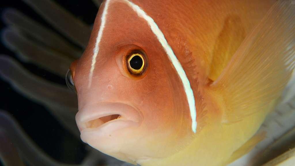 Le poisson-clown à collier et son anémone