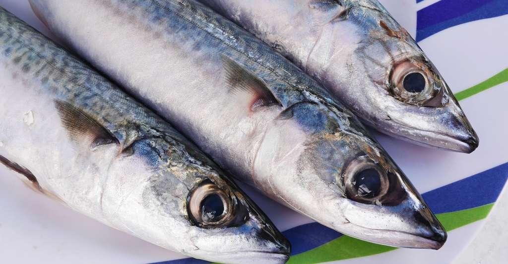 Exemple de poisson gras riche en omega3, le maquereau scomber scombrus © Petar Milošević - CC BY-SA 4.0