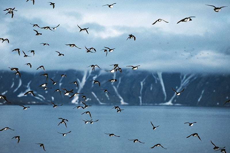 Vol de mergules nains. © Michael Haferkamp, GNU FDL Version 1.2