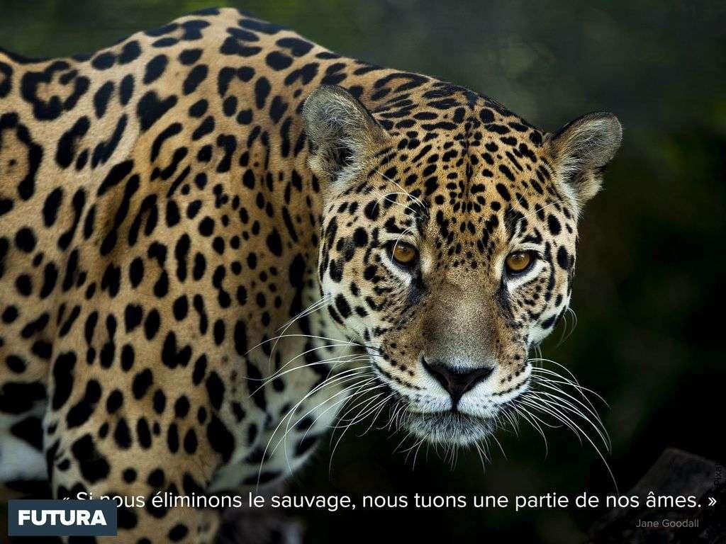« Nous aussi, nous sommes des animaux » Jane Goodall