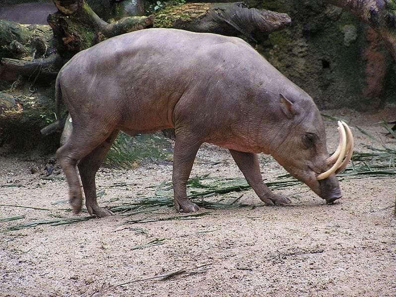 Babiroussa mâle. Dans certains cas, la croissance des canines peut aller jusqu'à percer le crâne de l'animal. © Masteraah, Wikipédia, cc by sa 2.0