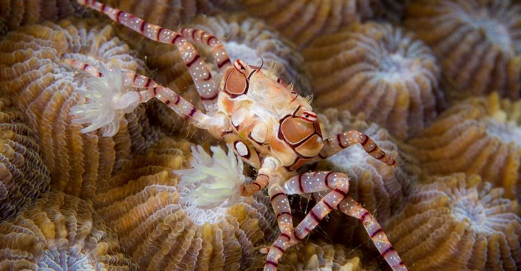 Lybia tessellata en Papouasie Nouvelle-Guinée. © Eliot Ferguson, Wikimedia commons, CC by-sa 3.0