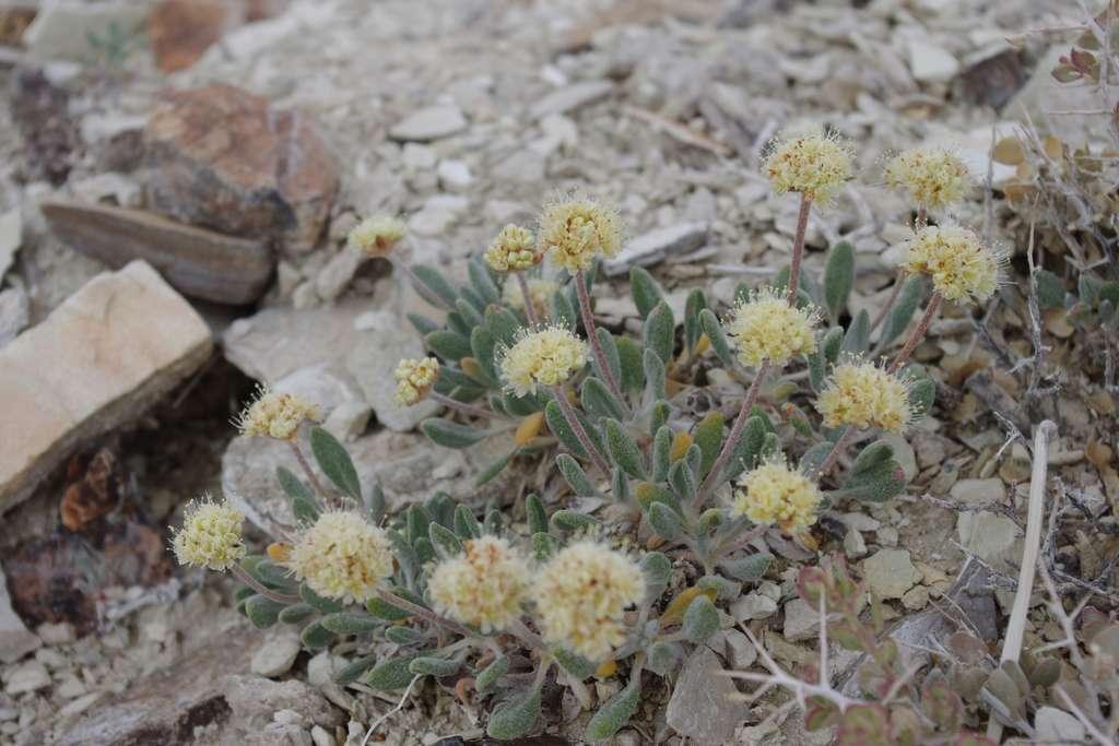 Le sarrasin de Thiem est endémique des montages du Nevada. © Janel Johnson, iNaturalist