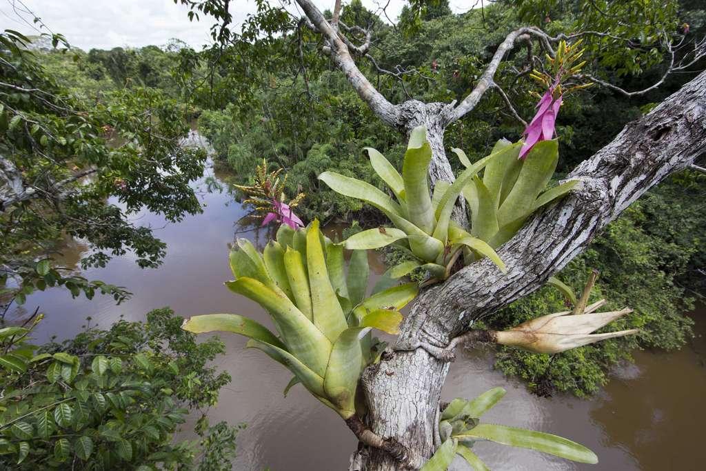 Les broméliacées, des plantes épiphytes du Pérou