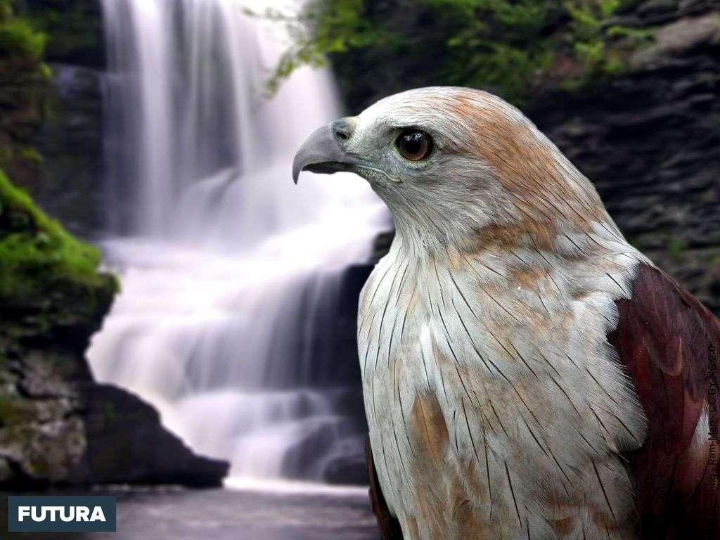 Aigle du Kerala