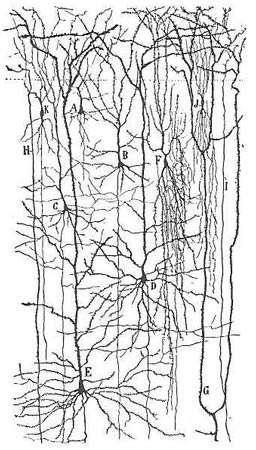 Neurones colorés par la méthode de Golgi. Source: Hubel