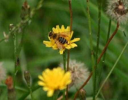 Une abeille butineuse. © Sylvie Nomblot, DR