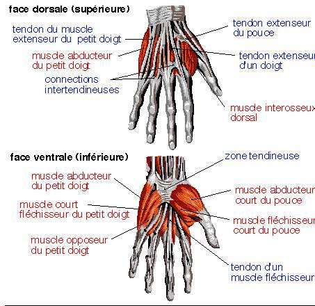 Anatomie de la main humaine. © DR
