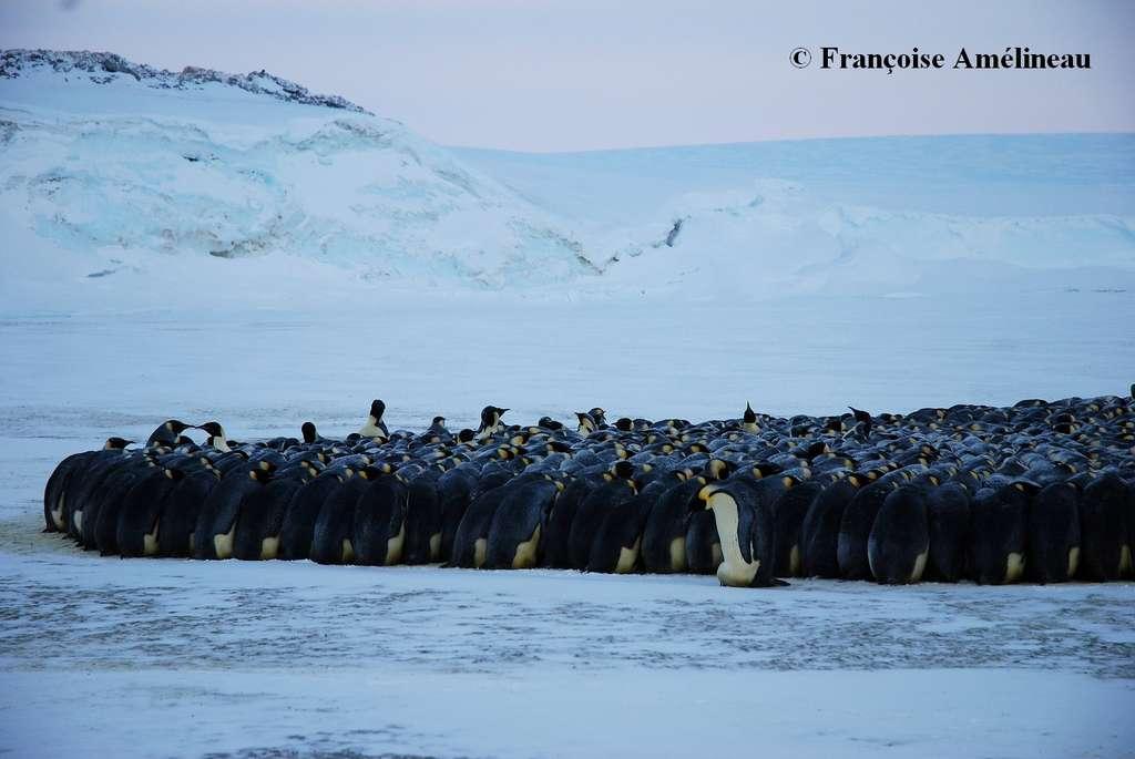 En Antarctique, les manchots empereurs s'amassent pour vaincre le froid. Une dynamique de mouvement complexe se met en place. C'est la figure de la tortue : chaque manchot essaie de gagner le maximum d'énergie, et au final, tous les manchots reçoivent la même quantité de chaleur. © Françoise Amélineau, ENS Lyon