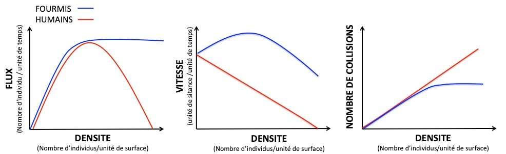 Comparaison du trafic en fonction de la densité chez les fourmis et les humains. Alors que le flux des humains (nombre d'individus parcourant une certaine distance par unité de temps) observe une forme en cloche et décroit avec la densité, celui des fourmis reste quasi stable. Les fourmis sont également plus effaces pour éviter les collisions même à forte densité. © Audrey Dussutour