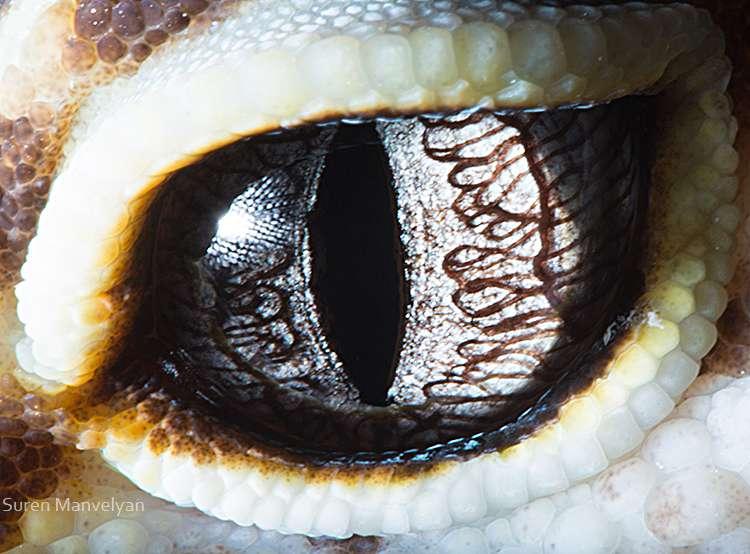 La vue infaillible du gecko léopard