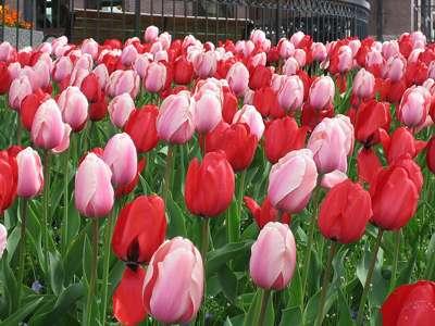 Un massif de tulipes, Terry korte Domaine public