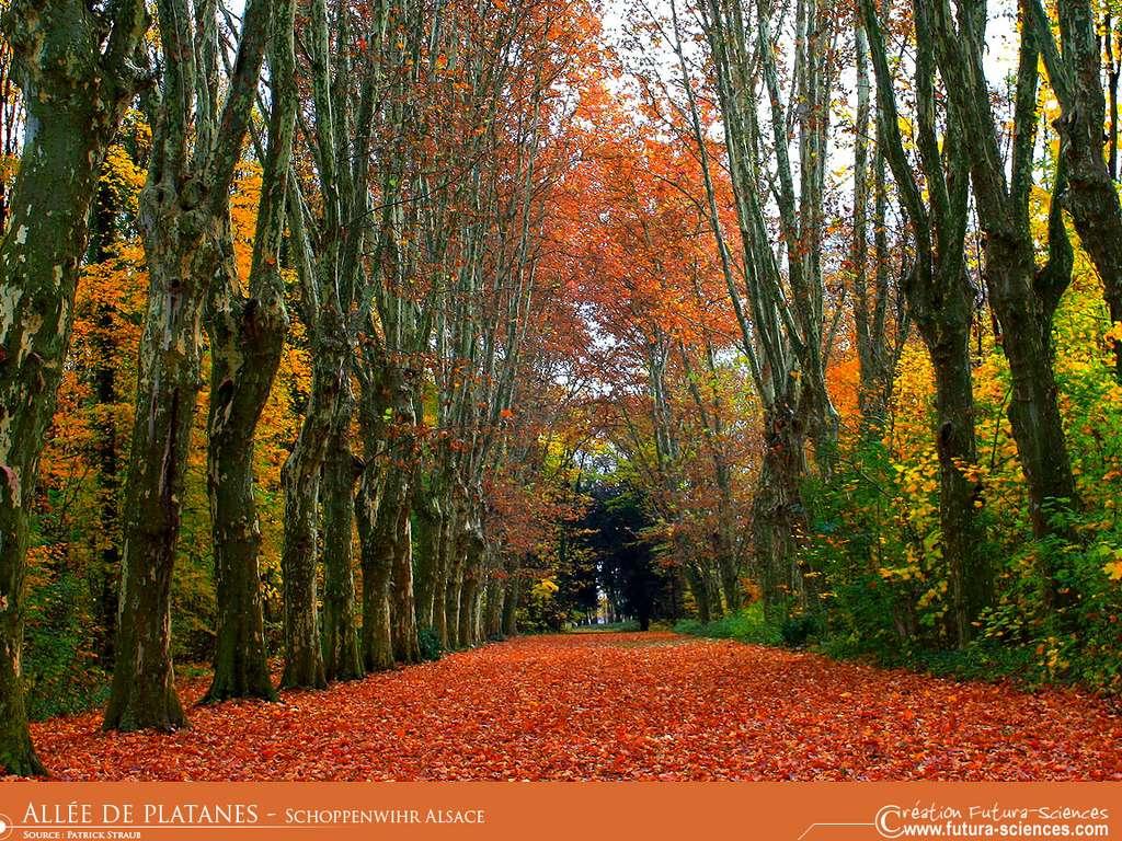 Allée de platanes Alsace - Schoppebwihr