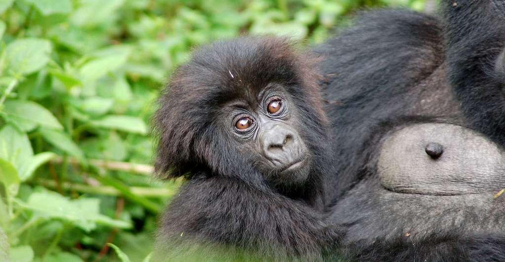 Gorille de l'Est. © Joachim Huber, Wikimedia commons, CC by-sa 2.0