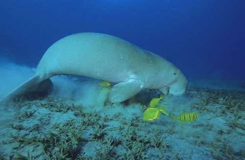 Le dugong se nourrit de plantes marines. © Alexis Rosenfeld, toute reproduction et utilisation interdites