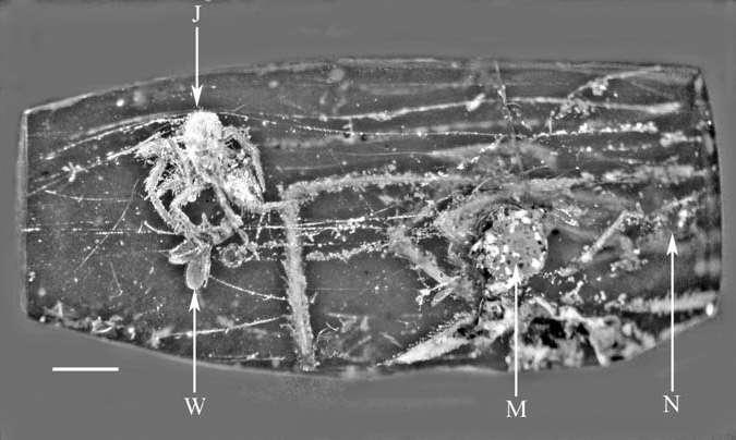 Photographie du morceau d'ambre contenant un Geratonephila burmanica juvénile (J) s'attaquant à une mouche (W). En M, à droite de l'image, se trouve une araignée mâle adulte. Des restes de névroptères, des insectes, ont également été observés (N). © Poinar et Buckley 2012, Historical Biology