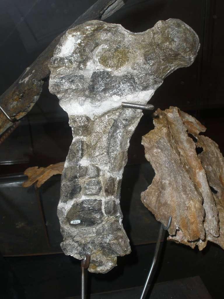 Fémur de Gargantuavis philoinos permettant de statuer sur son mode de vie (terrestre). © Ghedoghedo, Wikipedia, cc by sa 3.0