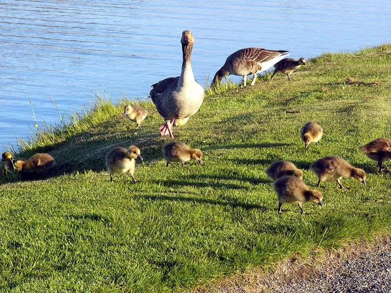 Oies cendrées et leurs oisons. © Christian Bickel, Wikipédia, cc by sa 2.0