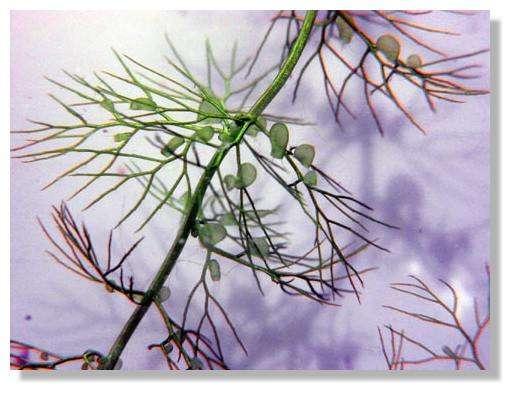 Figure 20. Une utriculaire. On observe des feuilles ramifiées portant de petites outres, les utricules. © Biologie et Mulitmedia