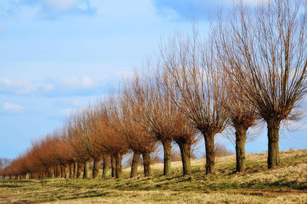L'arbre têtard ou trogne fait partie du paysage typique de nos campagnes. © MabelAmber, Pixabay