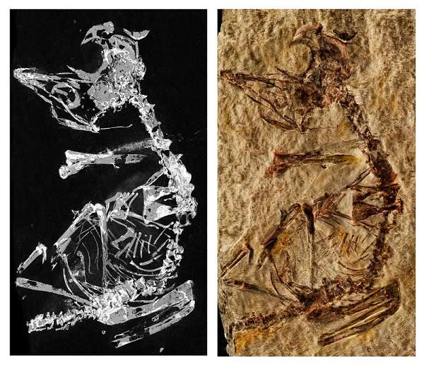 Le fossile révélé par imagerie au rayonnement synchrotron grâce au phosphore qu'il contient (à gauche) et une photographie du fossile (à droite). Il est aujourd'hui entreposé au Musée de Paléontologie de Castille-La Manche, en Espagne. © Fabien Knoll et al., 2018