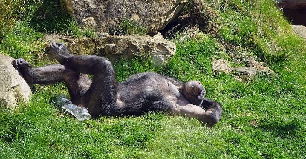 Chez les chimpanzés en captivité, présentant pourtant des facteurs de risque similaires à ceux de l'être humain — inactivité physique, hypertension, taux élevé de lipides dans le sang —, les cas d'athérosclérose restent rares. © Barni1, Pixabay License