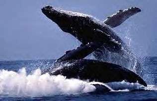 Comment les baleines et les dauphins ont-ils perdu leurs pattes pour conquérir les océans ? (Crédits : www.chantelavie.com)