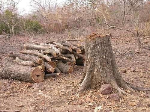 Les services de la biodiversité (le bois d'oeuvre produit à partir du Pterocarpus erinaceus, Sokouna, Mali - 2005) © Photo Philippe Birnbaum - Tous droits de reproduction réservés