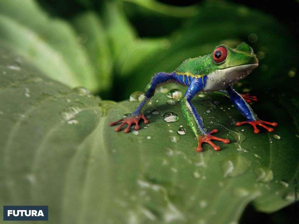 Rainette aux yeux rouges aux couleurs variables vit jusqu'à 1350 m d'altitude