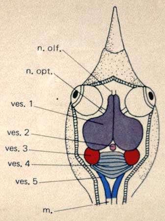 Encéphale d'oiseau (cas général). © Reproduction et utilisation interdites