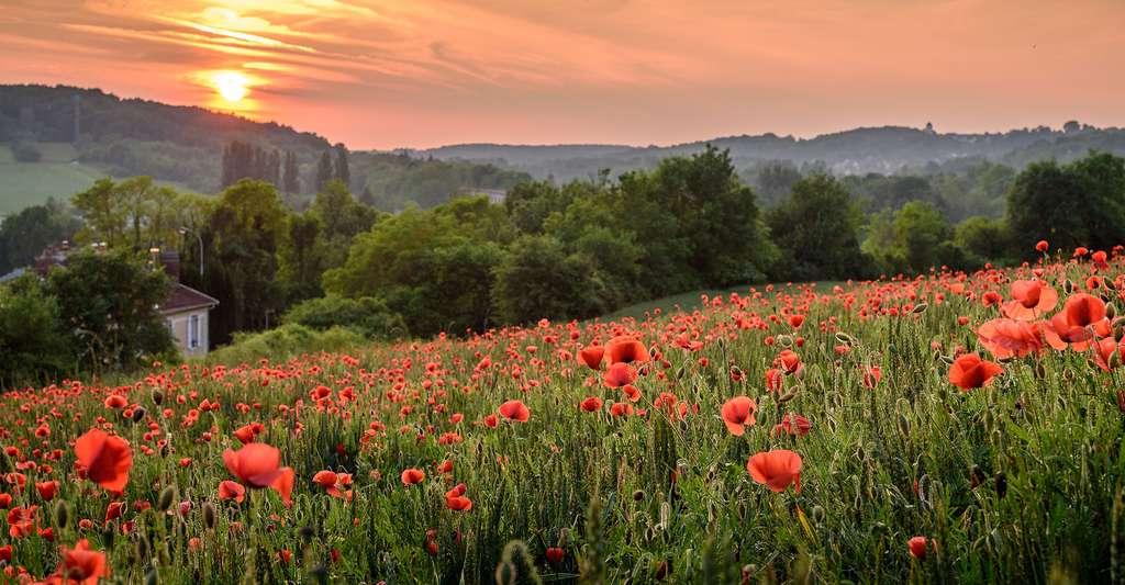 Qu'est-ce que l'autofécondation ? Ici, un champ de coquelicots au soleil couchant. © Zhoto, Shutterstock