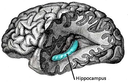Ce dessin permet de localiser l'hippocampe dans le cerveau, bordé sur une partie par le gyrus denté, trop petit pour être représenté ici. Pourtant, il est le siège de nos clés retrouvées. © Gray's Anatomy, Henry Gray, Wikipédia, DP