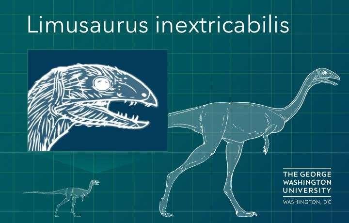 Du bec au bout de la queue, Limusaurus inextricabilis, à l'âge adulte mesurait environ 1,70 m. C'était un théropode, au moins cousin des ancêtres des oiseaux. Le jeune (en médaillon) avait des dents de carnivores. Son régime alimentaire était donc différent. © George Washington University