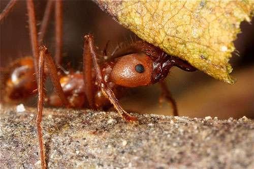 Les fourmis font partie de la classe des insectes. © Yrichon - licence Creative Commons Paternité – Partage des conditions initiales à l'identique 3.0 Unported