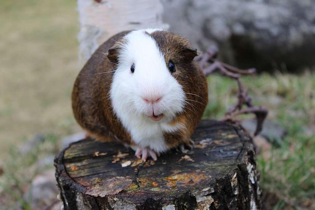 Le cochon d'Inde est un animal sociable qui aime vivre en groupe. © Andy Miccone, Flickr