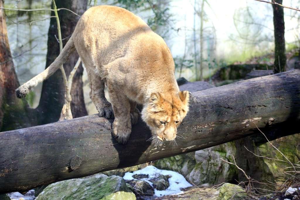 La chasse est essentiellement la tâche des lionnes. © Patrick Straub