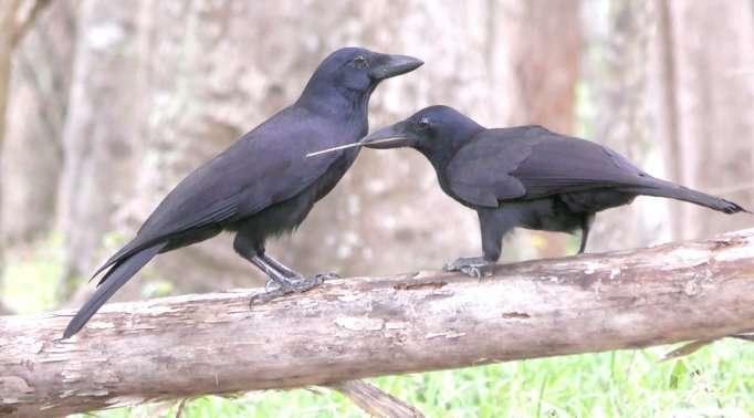 Un corbeau sauvage de Nouvelle-Calédonie juvénile (à droite) explore à l'aide d'un outil, sous la surveillance d'un adulte dit « tolérant » (à gauche). © Michael Griesser